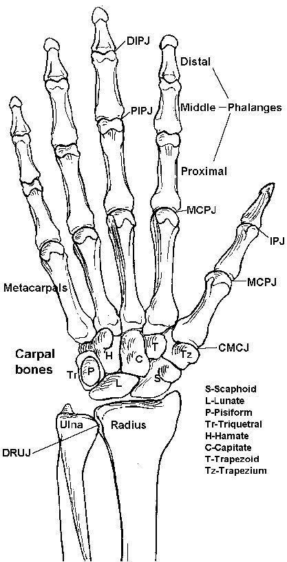Hand Bones Skeleton Anatomy Nvare Pinterest Hand Bone