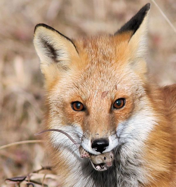 Pin By Maria Kamen On A Bit Of Everything Wildlife Photography Pet Fox Fox