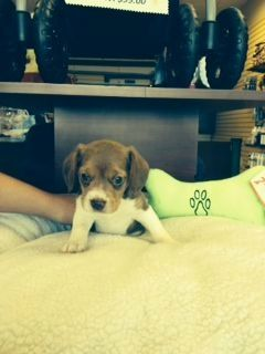 Chocolate Pocket Beagle Beagle Puppies For Sale Must See Very Cute