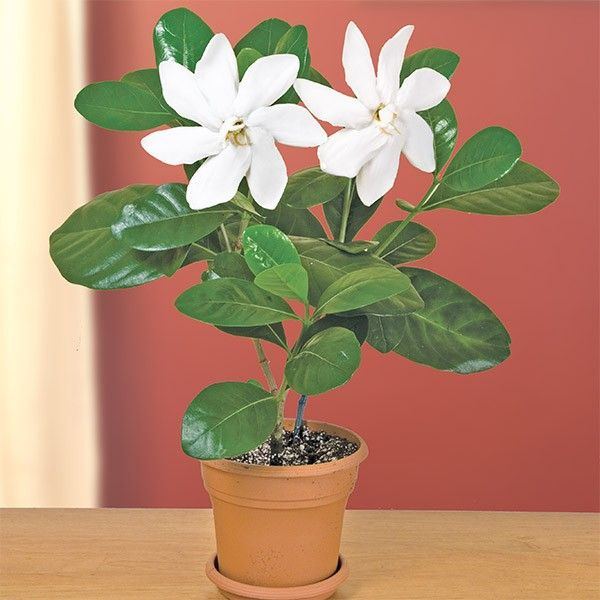 Gardenia Diamond S Fragrant Delight Gardenia Hybrid The