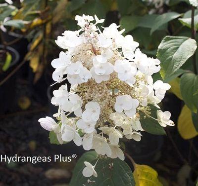Hydrangea Paniculata Baby Lace Tm Hydrangea Paniculata Growing Hydrangeas Planting Hydrangeas