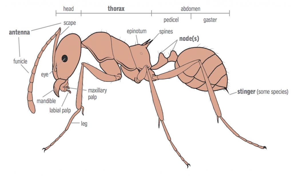 ant anatomy #Ant | Bicheche | Pinterest | Ant and Anatomy