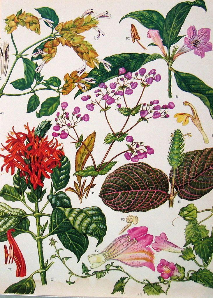 Vintage Botanical Print 184   by ninainflorida