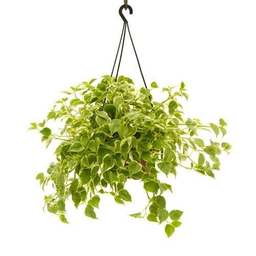 Resultado de imagem para jiboia planta pendente for Plantas exoticas online