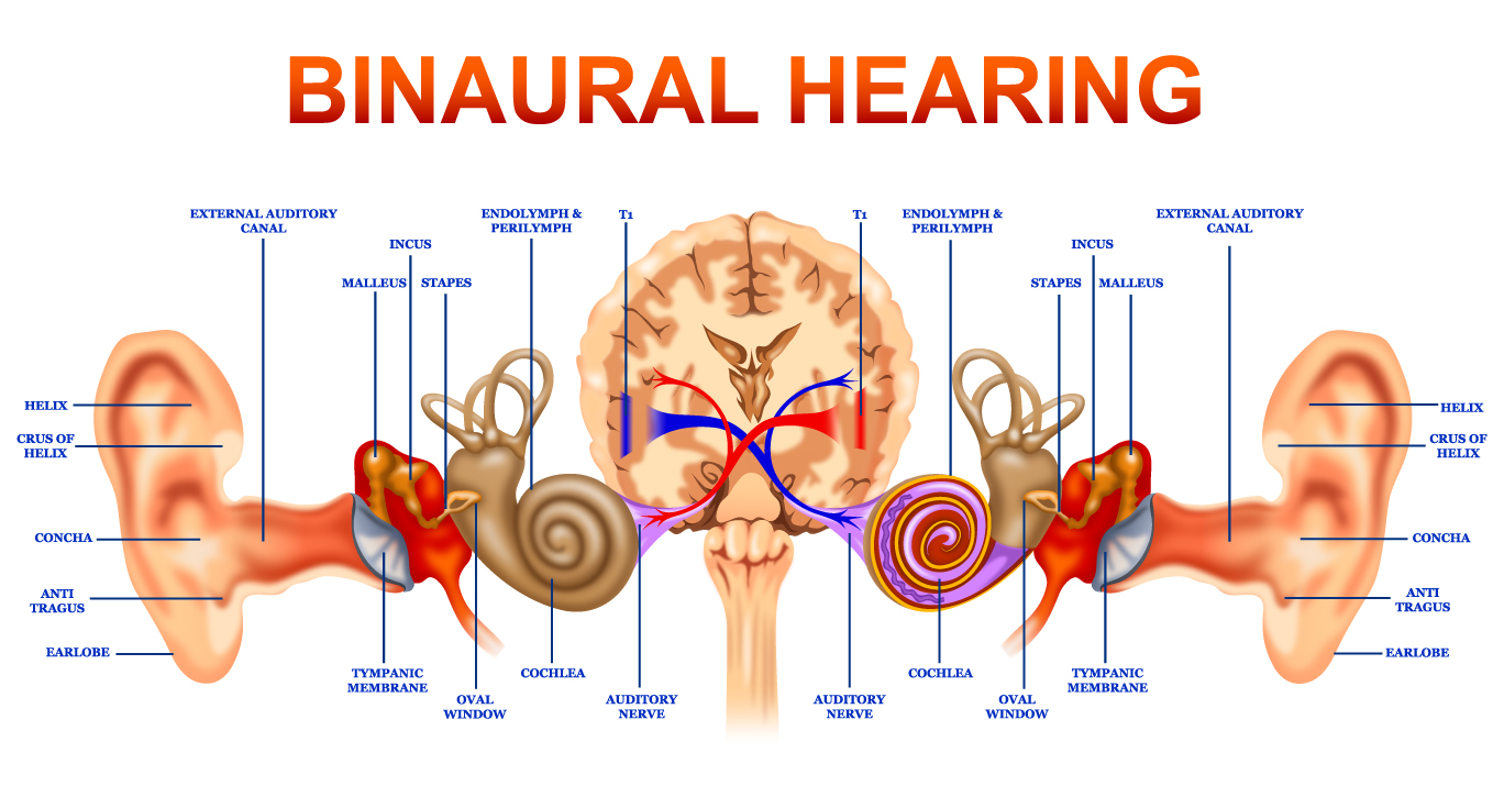 anatomical structure of ears - Google Search | Lend Me Thine Ear ...