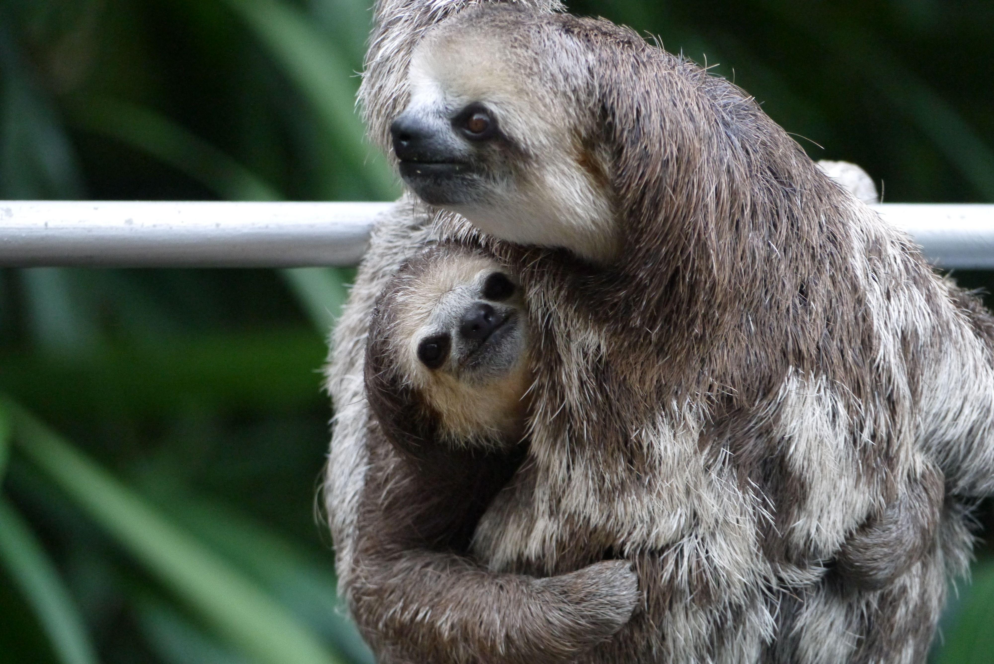 Angel and Ostrich Sloth, Koala bear, Koala