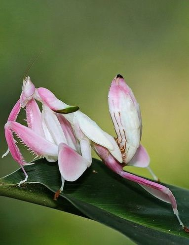 Orchid Mantis Mantodea Hymenopodidae Hymenopus Coronatus By Angiud Orchid Mantis Weird Insects Bugs And Insects