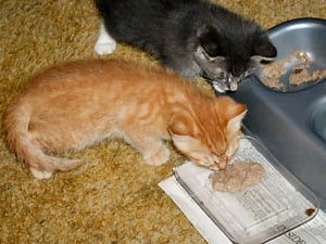 Here S What To Expect In The First 6 Weeks Of Your Kitten S Life Kitten Food Newborn Kittens Kitten Care