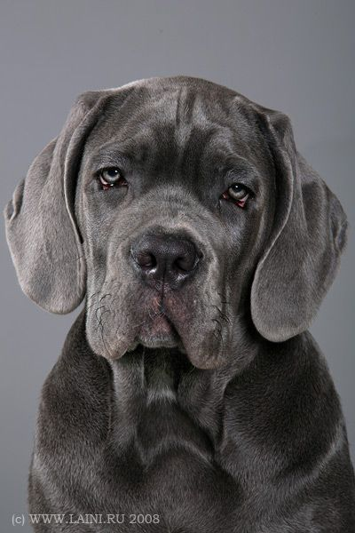 Photos Cane Corso Puppies Ears To Long Usually The Breeders Will
