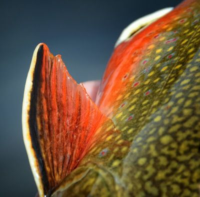 brook trout, the colors on these fish are remarkable.