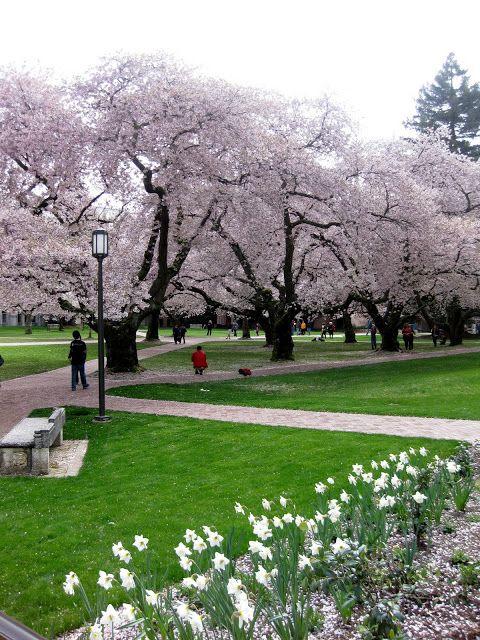 Other Gardens Uw Campus Cherry Blossoms Sakura Saku Yoshino Cherry Tree Garden Trees Cherry Blossom