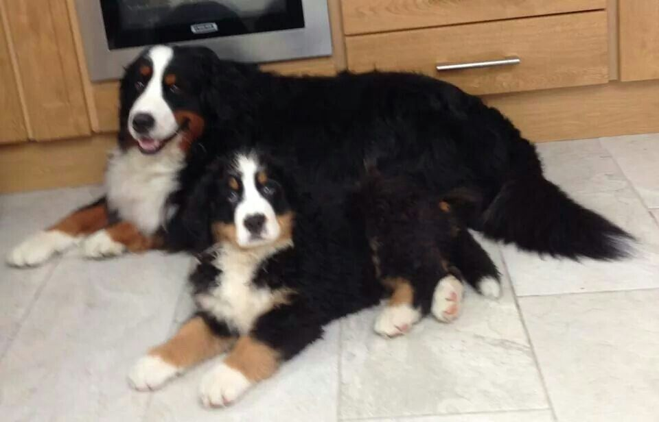 Bernese Mountain Dog And Puppy Bernese Mountain Dog Bernese Dog Mountain Dogs