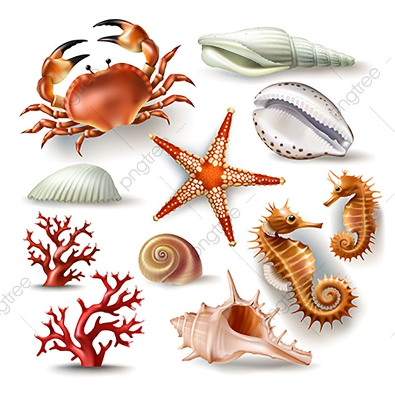 Set Of Vector Illustrations Seashells Coral Crab And Starfish Seashell Clipart Shellseashell 3d Png And Vector With Transparent Background For Free Download Starfish Drawing Ocean Illustration Sea Shells
