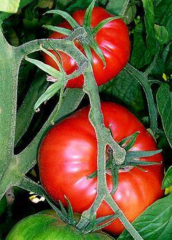 Tomatoes On The Bush Jpg トマトの栽培 家庭菜園 トマト