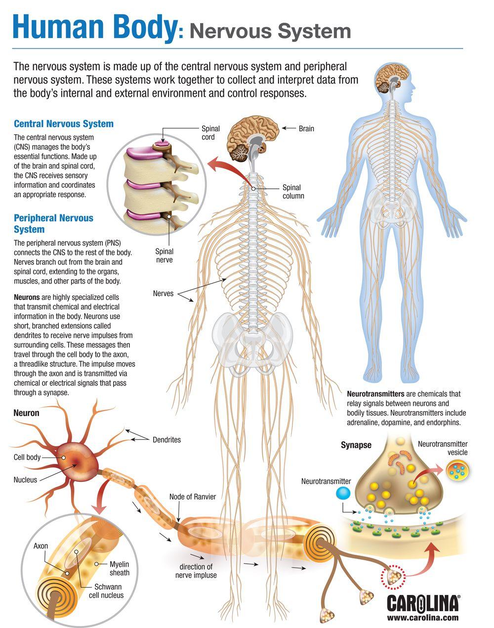 Human Body Nervous System Human Body Nervous System Basic Anatomy And Physiology Human Anatomy And Physiology