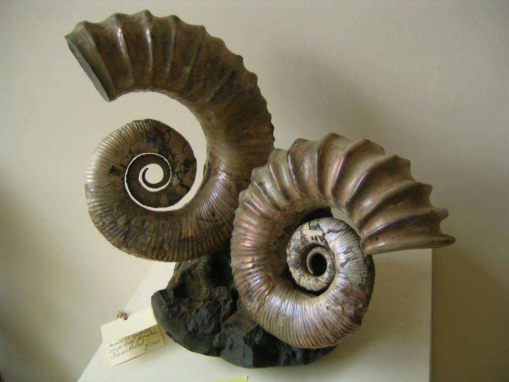 Russian Heteromorph Tropeum Ammonite; Ammolite. Red or Iridescent Ammonite Genus: Tropeum sp. Location: Volga River Formation, Russia Geologic Age: Cretaceous Period