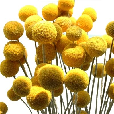 Craspedia Billy Balls Billy Buttons Yellow Ball Flowers Billy Buttons Billy Balls Annual Flowers