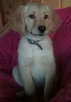Pictures Of Bella A Golden Retriever For Adoption In Millersburg