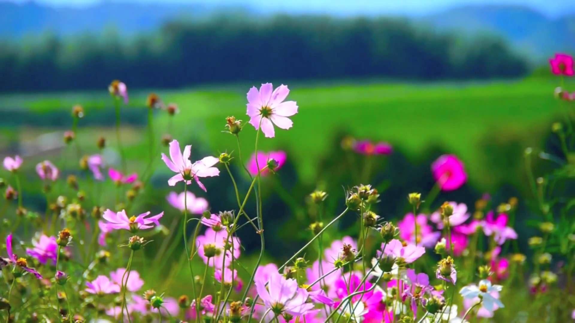 Flowers 55 Video Background Hd 1080p Cicek Amazing flower video wallpapers