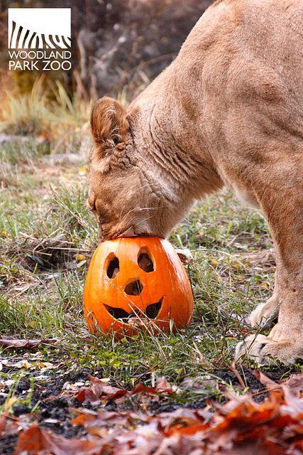 Woodland Park Zoo I Love Cats Cat Holidays Cute Animals
