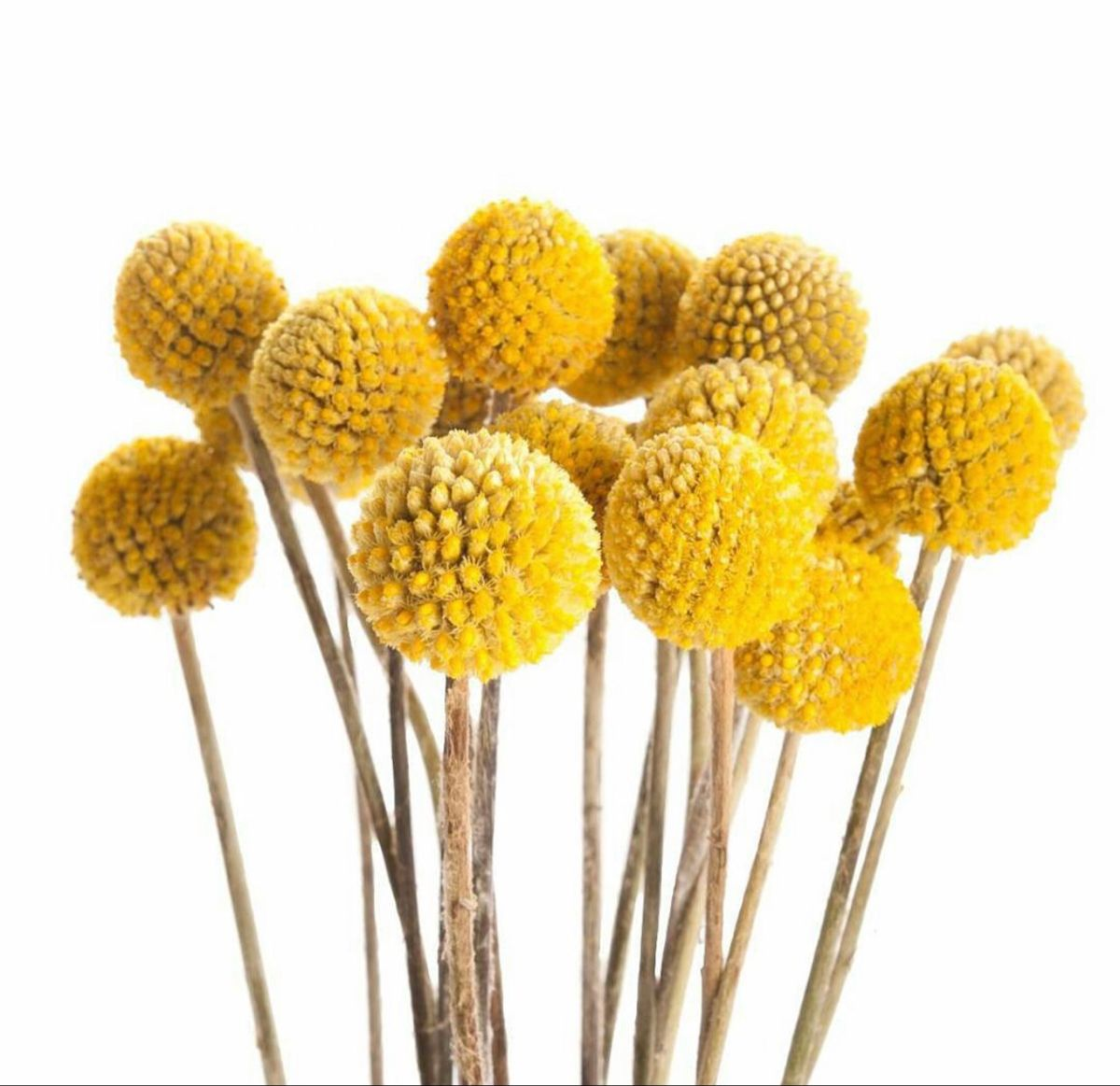 Bulk Craspedia Yellow Billy Ball Flowers In 2020 Yellow Flowers Wholesale Flowers Craspedia
