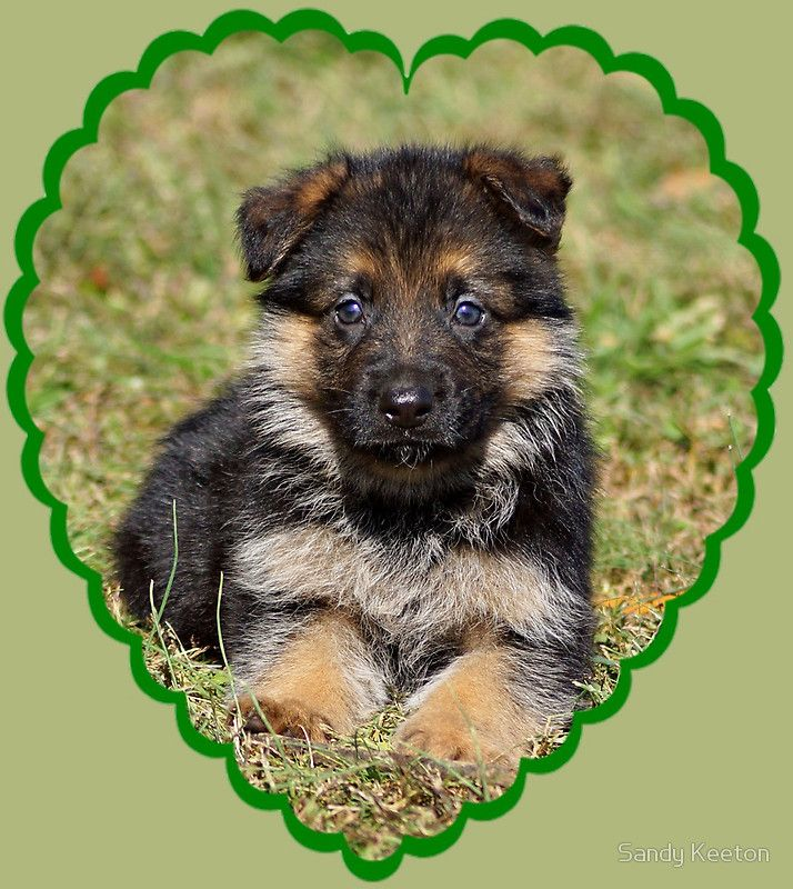 Photograph of a German Shepherd puppy • Buy this artwork on apparel, phone cases, home decor, and more.