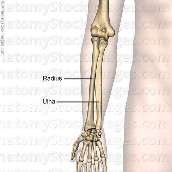 Pin By Anatomy Images On Forearm Pinterest Forearm Bones
