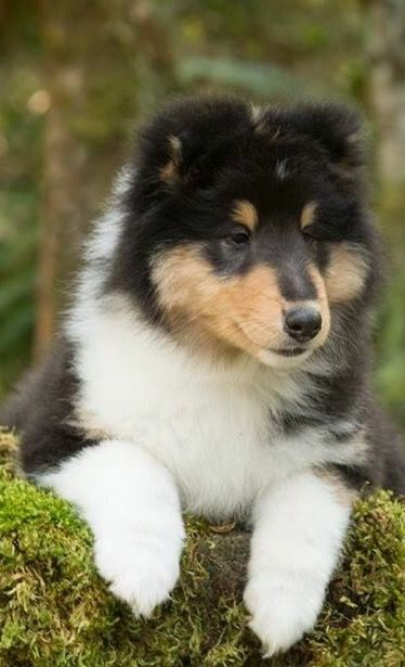 What A Gorgeous Baby Collie Shetland Sheepdog Sheltie Dogs
