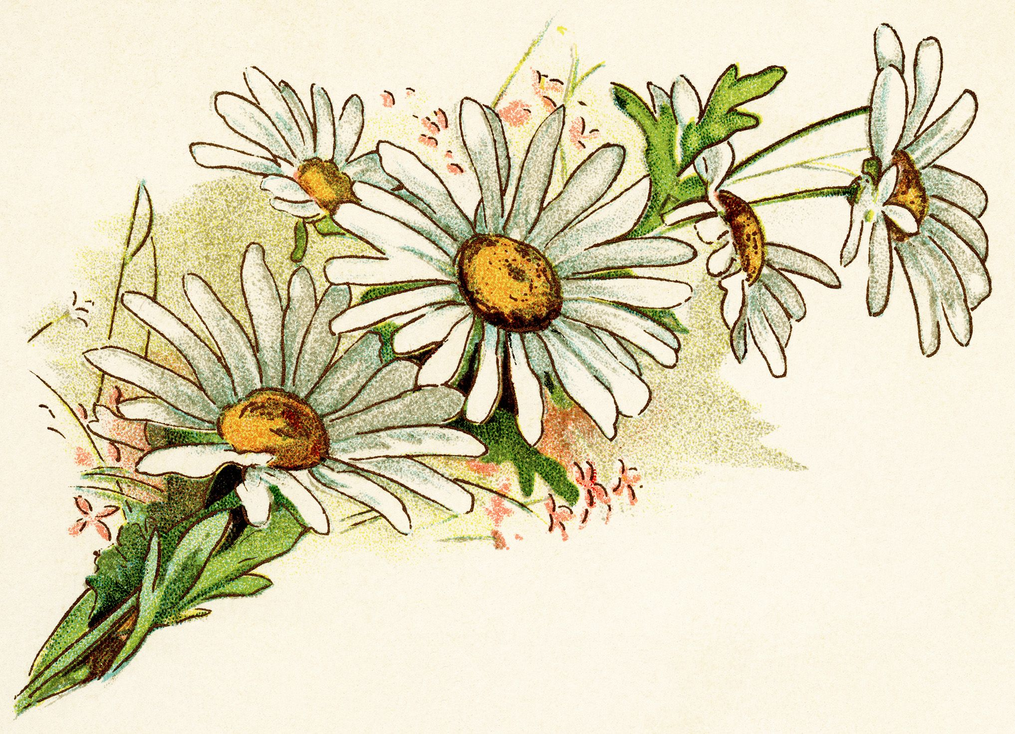 vintage daisy image free digital floral graphics cluster of daisies illustration old fashioned daisy clipart bouquet of daisies printable [ 2034 x 1470 Pixel ]