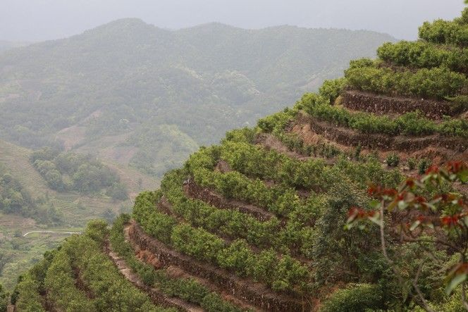 """""""In southern China, on the slopes of Phoenix Mountain, tea bushes are planted on…"""
