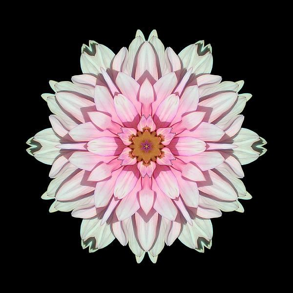 White And Pink Dahlia I Flower Mandala By David J Bookbinder Flower Mandala Black Background Images Flower Art