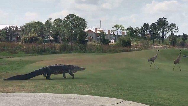 33++ Alligator orlando golf course info