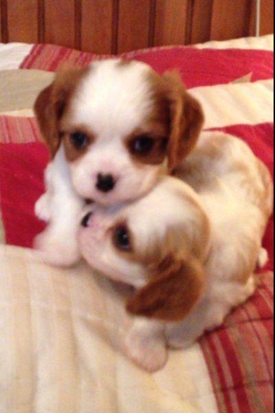 Cavalier King Charles Spaniel Dog Breeders in Florida - Robbie's