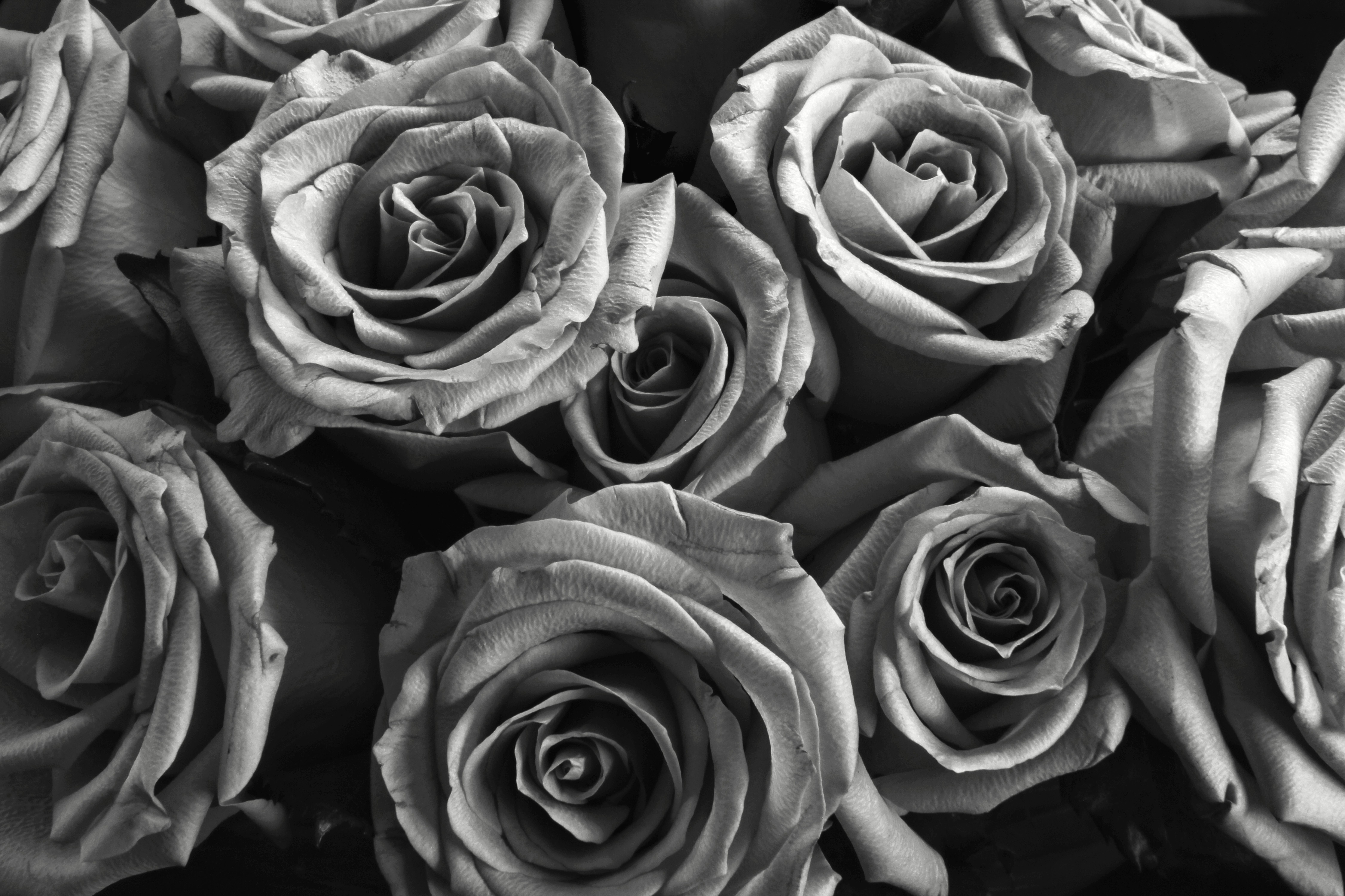 roses.jpg (9000×6000) (With images) Black and white