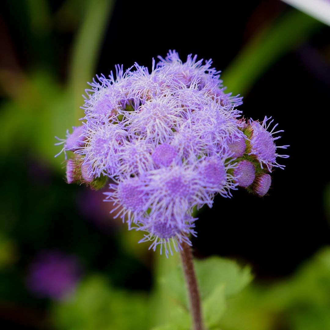 Richgro Garden Products On Instagram Ageratum Houstonianum Sometimes Known As The Floss Flower This Ageratum Is A D Perennial Plants Perennials Flowers