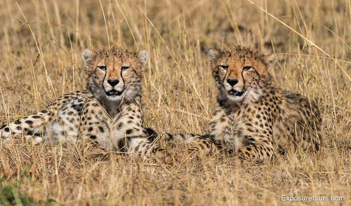Twin cheetahs prove to be excellent models for photographic safari guests in the Masai Mara