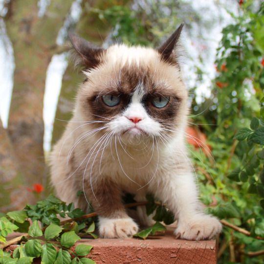 realgrumpycat   Grumpy cat, Grumpy cat humor, Funny grumpy ...