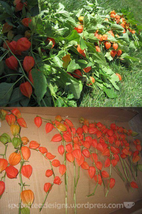 Chinese Lantern Flowers   chinese-lanterns-drying-web