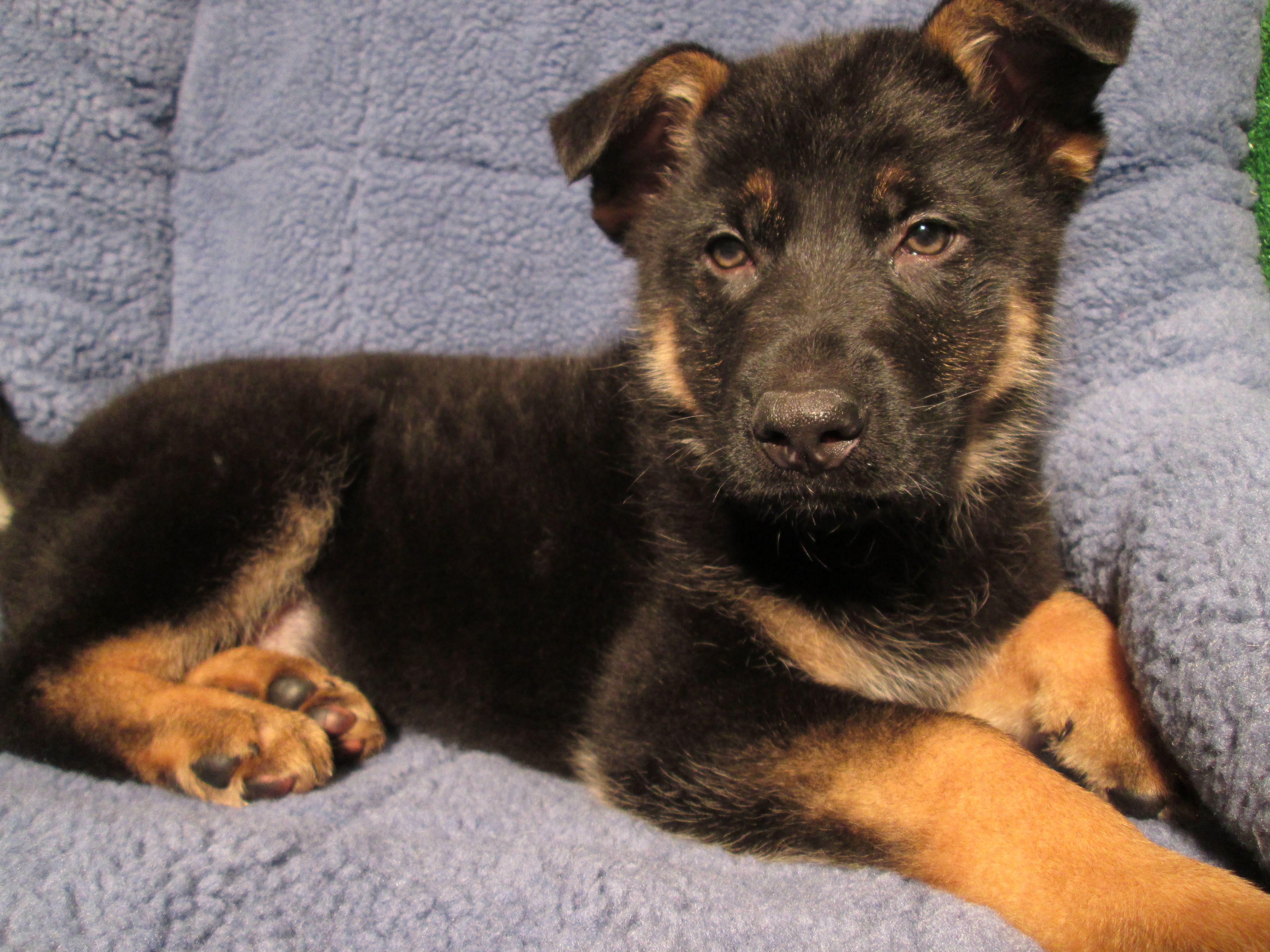 King Shepherd Puppies For Sale Ny Ideas