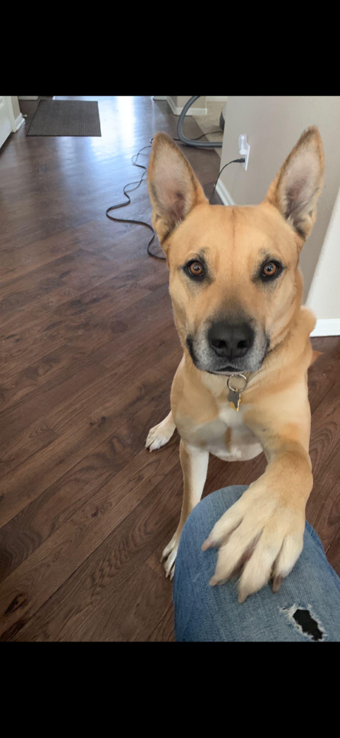 Pin On German Shepherd Pitbull Terrier Mix
