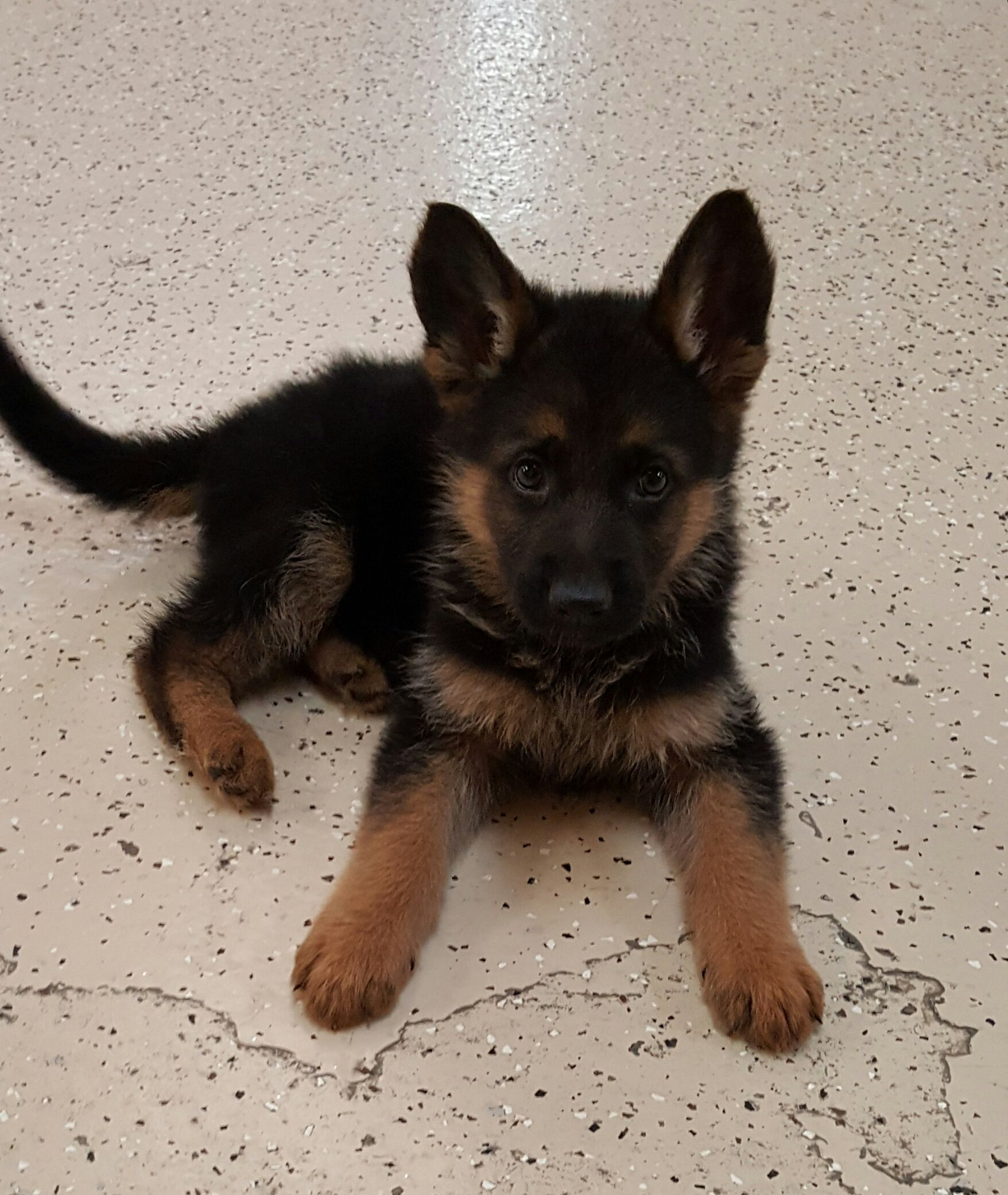 The Cutest German Shepherd Pupperhttps I Redd It R5pnxawwl2z21