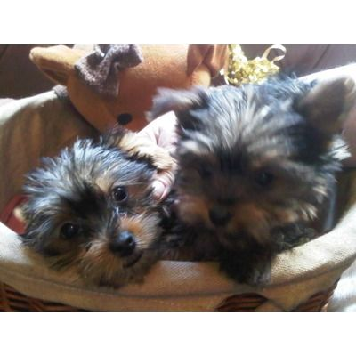 Yorkshire Terriers classifieds in Manchester : Images for Toy Yorkshire Terrier...