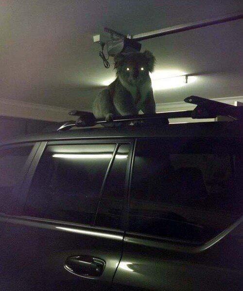 drop bear in garage | drop bears | Funny animals, Funny koala, Funny