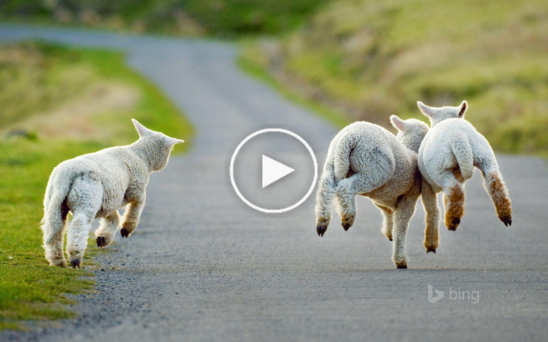3 Sheep Wallpaper Farm Animals Sheep Wallpapers 11 Hd Wallpapers 1080p Full Hd 1080p Anim Tapeten Tierisch