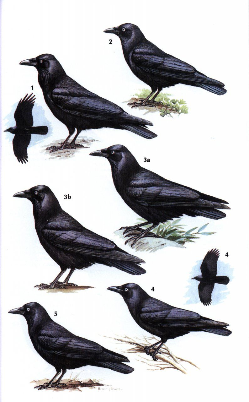 Crows and Jays: A Guide to the Crows, Jays and Magpies of the World - 1408157381 9781408157381: NHBS: Steve Madge and Hilary Burn