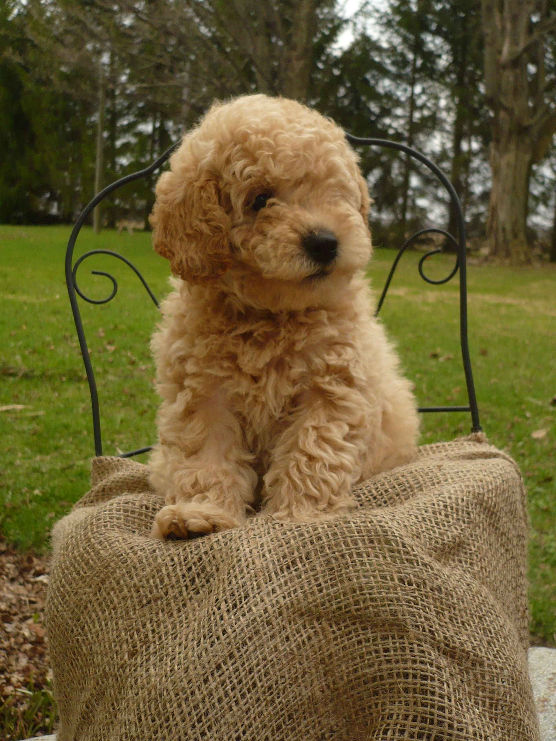 Looks Like A Baby Winston Australian Labradoodle Puppies Cool Pets Labradoodle