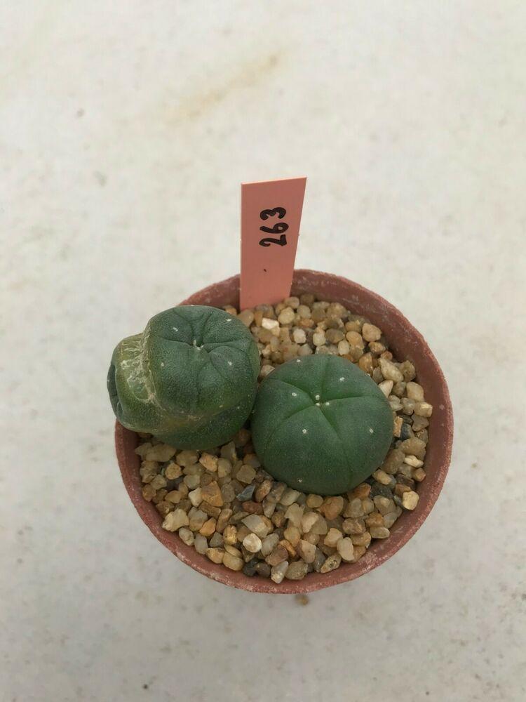 Lophophora Mix Cactus Seeds Mixed Species Cacti Succulent Seed