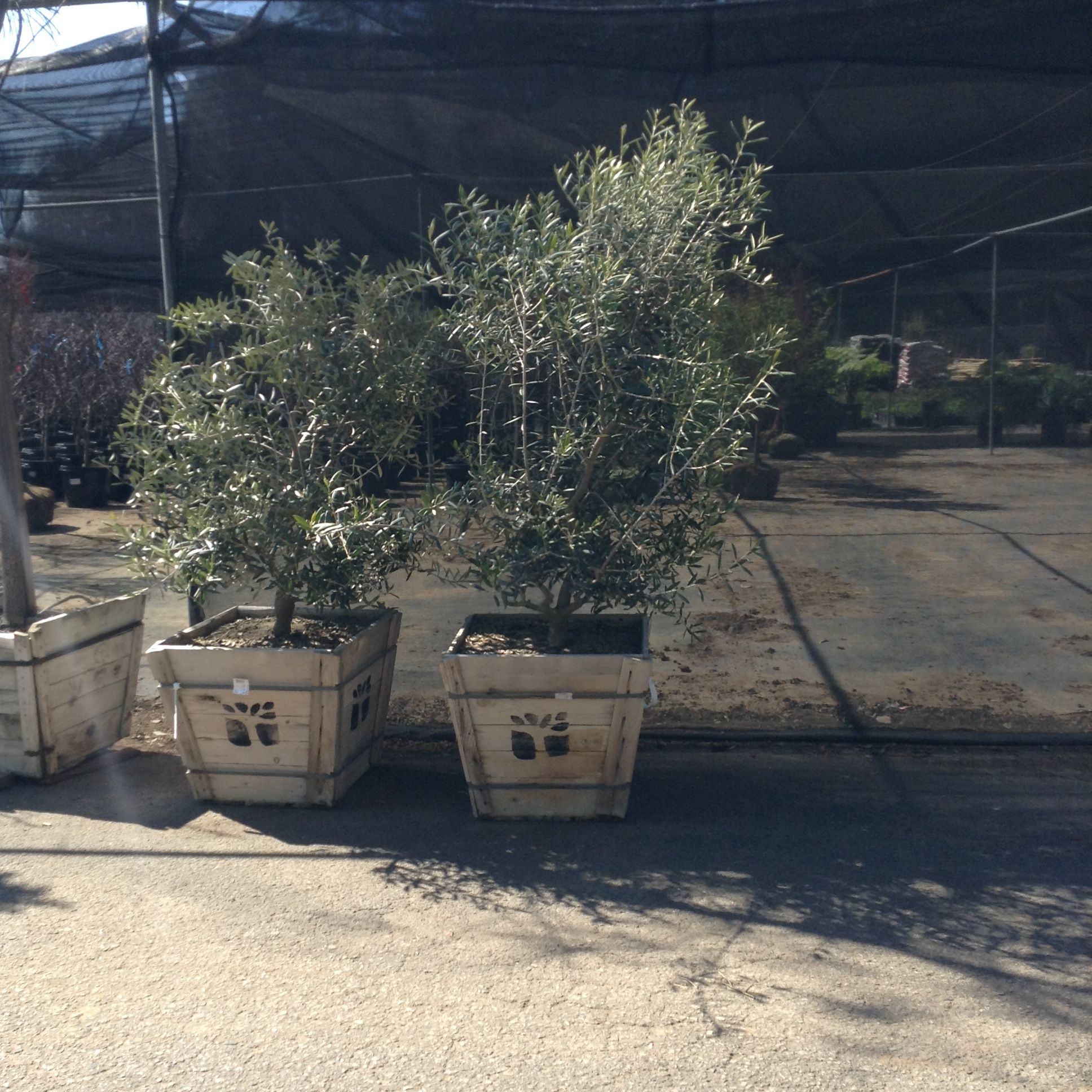 If only I could rent olive trees, we would have all of the authentic elements needed for the end of Holy Week.