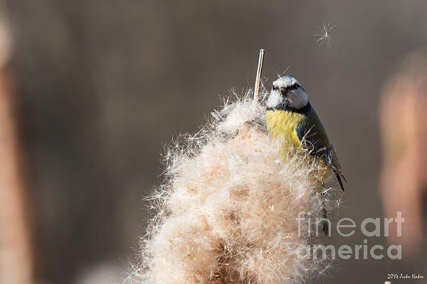 Blue Tit Reedmace Seeds - photo by Jivko Nakev