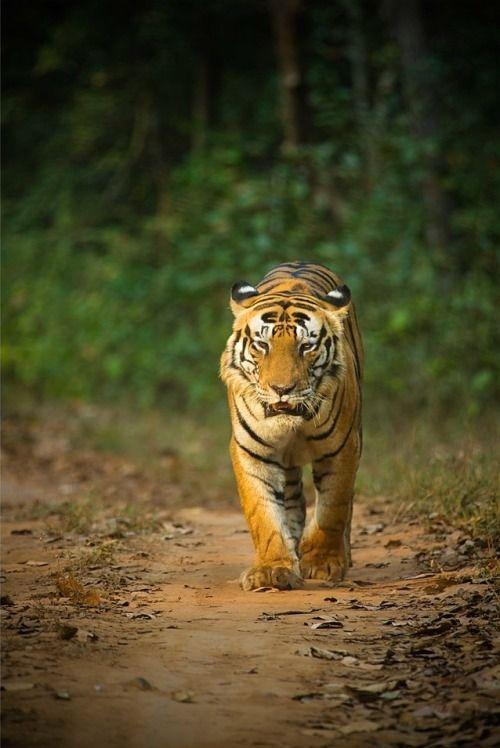 beautiful-wildlife: CAT on my head!!! by Sharvari Rane Kanha National park, Madhya Predesh, India